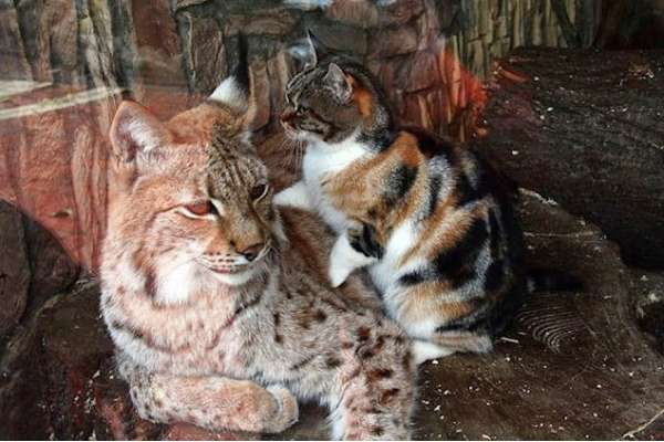 Cat Sneaks Into A Zoo And Becomes Friends With A Lynx